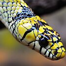 Tiger Rat Snake by Dennis Stewart