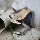 Brownie, a tiny brown frog in Kabini by Indrani Ghose