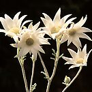 Flannel flowers by RobAllsop