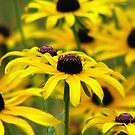 Black Eyed Susan Summer  by AngieDavies