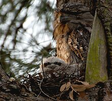 Baby frogmouth - and mum by jesskato