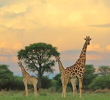 Giraffe - Sunset Storm Watchers by LivingWild
