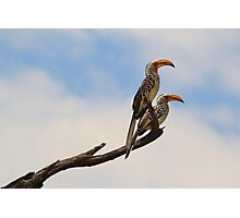 Yellow Billed Hornbill - Beak of Format Photographic Print