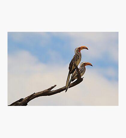 Yellow Billed Hornbill - Beak of Format Photographic Print