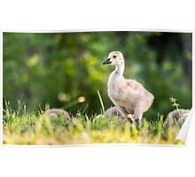 Baby Duckling in the Morning Light Poster