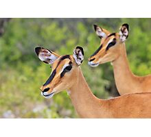 Black Faced Impala - Together in Curiosity Photographic Print
