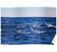 Whales @ Byron - Steve Poster