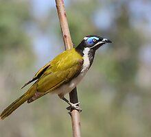 Blue Faced Honeyeater by burnettbirder