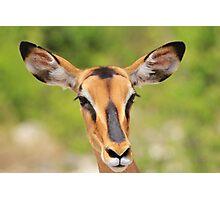 Black Faced Impala - Portrait of Pure Photographic Print