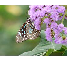 with delicate wings Photographic Print