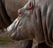 Hippo by Tom Newman