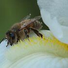 WA Bee on White Iris by Heather-Jayne