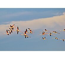 Greater Flamingo - Formation of Color Photographic Print