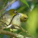 Silvereyes by triciaoshea