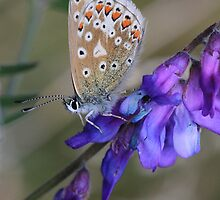 Female Common Blue Butterfly by Chris Bolton