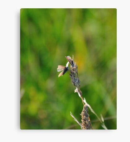 Common Blue Butterflies Canvas Print
