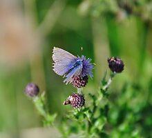 Common Blue Butterfly by Paul  Eden