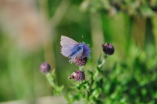 Common Blue Butterfly by Paul  Eden