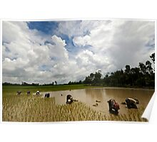 Family working the rice fields Poster