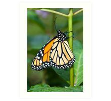 Monarch (with wings folded) Art Print