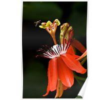Red Passiflora Poster