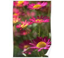 Marguerite Daisy - Madeira Red Poster