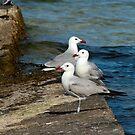 Audouin's Gull by Robert Abraham