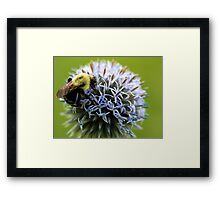 Bumble Bee - Globe Thistle Framed Print