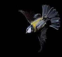 Cyanistes caeruleus by Yamato-Imaging