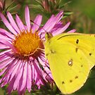 Yellow Sulphur Butterfly by lorilee