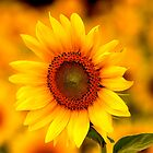 Sunflower Standing Out in a Crowd by kelleygirl