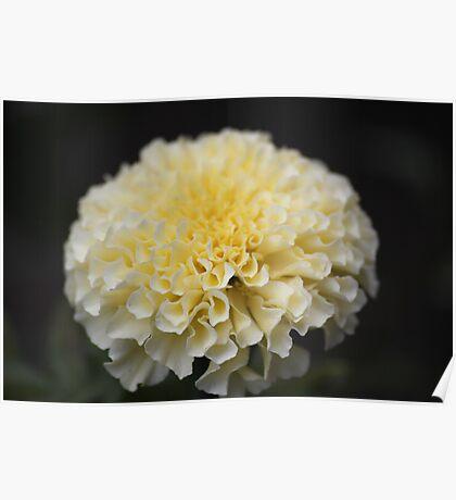 Vanilla Marigold Poster