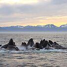 Sunset Bubblenetting by Gina Ruttle  (Whalegeek)