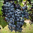 Harvest Time at Coronado Vineyards by Lucinda Walter