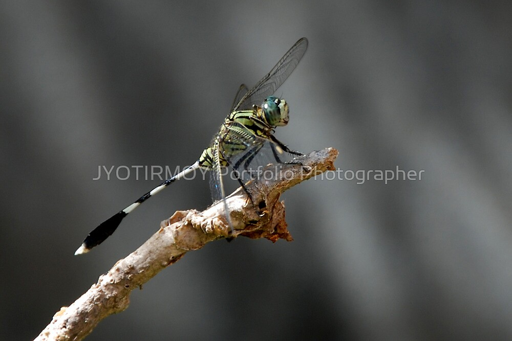 Clour of the fly by JYOTIRMOY Portfolio Photographer