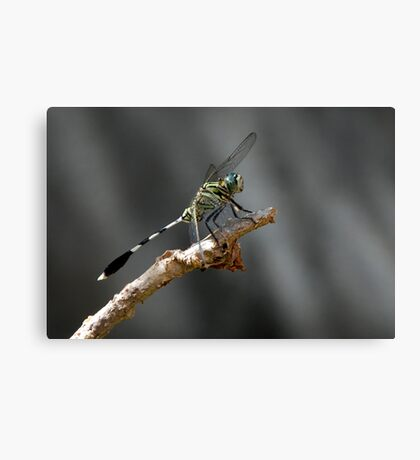 Clour of the fly Canvas Print