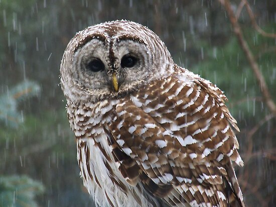 Barred Owl Visit by MaryinMaine