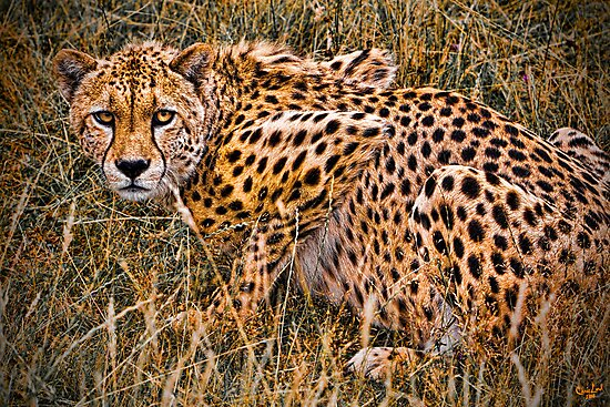 Cheetah in the Grass by Chris Lord