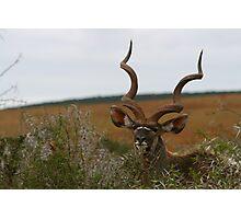 Greater Kudu Photographic Print