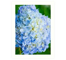 Blue Hydrangea from Above Art Print