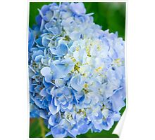 Blue Hydrangea from Above Poster