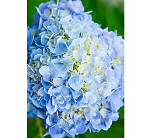 Blue Hydrangea from Above Photographic Print