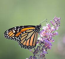 Monarch Beauty by rasnidreamer