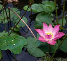 Lotus by BengLim