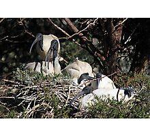 Australian White Ibis Nesting Photographic Print