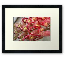 Red Grevillea In Bloom Framed Print
