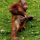 Orang-utan Itch by Sheila Smith
