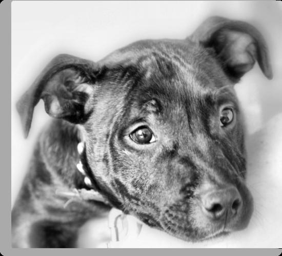 Marley The Staffordshire Bull Terrier by Sandra Cockayne