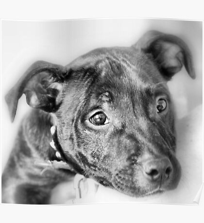 Marley The Staffordshire Bull Terrier Poster