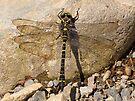Dragonfly by Carol Bleasdale